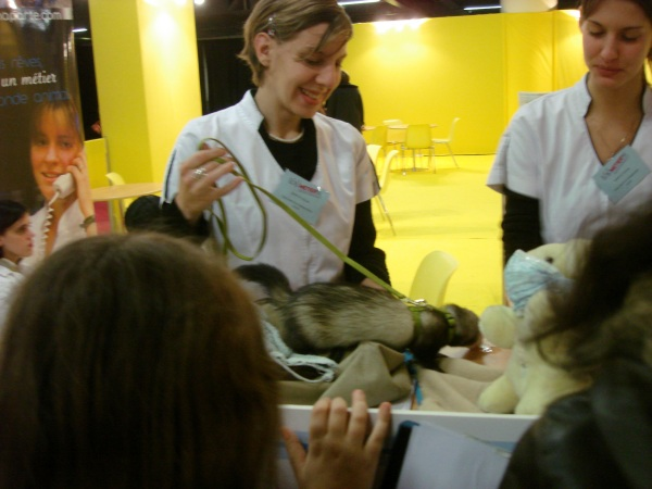 Bring a furet to talk about being a vet